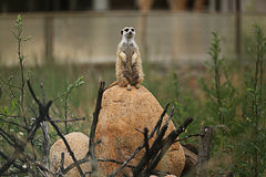 Animale di Meerkat Fotografia Stock Libera da Diritti