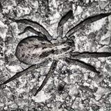Animale di Spyder fotografie stock