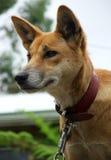 Animale - dingo australiano Fotografia Stock