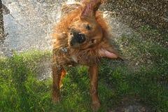 Animale domestico bagnato Fotografia Stock Libera da Diritti