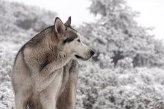 Animale domestico, cani, Malamute d'Alasca Fotografia Stock Libera da Diritti