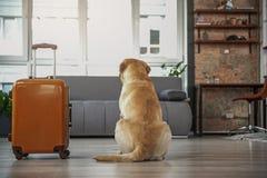 Animale domestico che individua vicino al bagaglio nel partment immagine stock