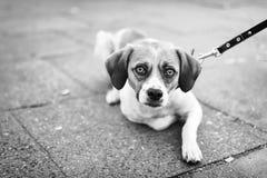 Animale domestico con personalità Fotografie Stock