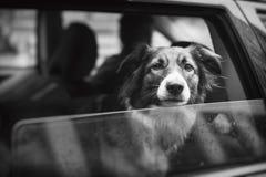 Animale domestico con personalità Immagini Stock