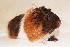Animale domestico dai capelli lunghi della cavia Immagini Stock Libere da Diritti