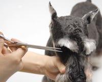 Animale domestico del cane dello Schnauzer standard Fotografia Stock Libera da Diritti
