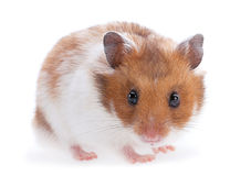 Animale domestico del criceto su bianco Fotografia Stock Libera da Diritti