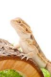 Animale domestico del drago Fotografia Stock