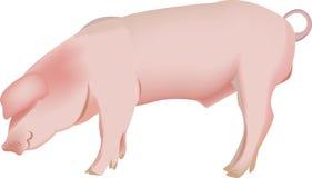 Animale domestico del maiale Fotografia Stock