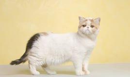 Animale domestico dell'animale del gatto Fotografie Stock Libere da Diritti