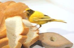 Animale domestico della casa dell'uccello color giallo canarino Immagine Stock