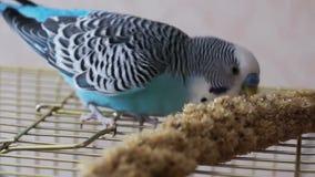 Animale domestico della famiglia, pappagallino ondulato blu mangiante il ramo del miglio del grano archivi video