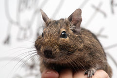 Animale domestico di Degu Immagine Stock