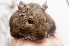 Animale domestico di Degu Immagini Stock