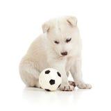 Animale domestico divertente del cane di cucciolo che gioca con la sfera Fotografia Stock Libera da Diritti