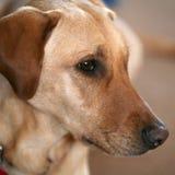 Animale domestico dorato Fotografia Stock Libera da Diritti