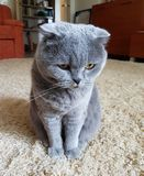 Animale domestico favorito Gatto fotografia stock libera da diritti