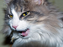 Animale domestico pericoloso Fotografia Stock