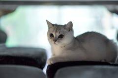 Animale domestico: Seduta del gatto Fotografia Stock Libera da Diritti