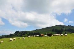 Animale domestico su Appenzell Immagine Stock Libera da Diritti
