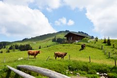 Animale domestico su Appenzell Fotografia Stock