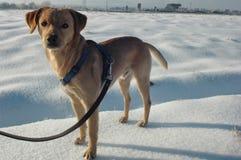 Animale domestico sulla neve Immagini Stock Libere da Diritti