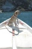 Animale domestico sulla prora di una barca Immagine Stock