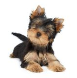Animale domestico sveglio Fotografie Stock Libere da Diritti