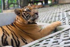 Animale domestico Tiger Paw a strisce arancio tropicale del giardino in Tiger Temple Tha fotografia stock libera da diritti