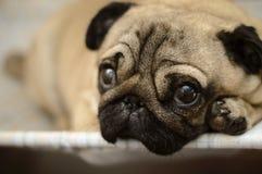 Animale domestico triste del carlino del cane Immagine Stock Libera da Diritti