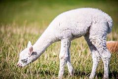 Animale giovane bianco della lama all'aperto Immagine Stock