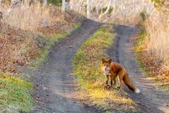 Animale il Fox in legno Immagine Stock