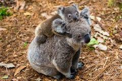 Animale indigeno australiano dell'orso di koala con il bambino fotografia stock