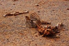 Animale morto nella siccità Fotografia Stock