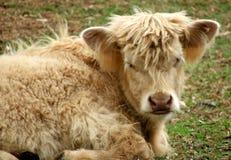 Animale - mucca dell'altopiano Fotografie Stock