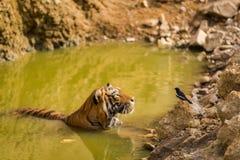 Animale nazionale contiguo reale della tigre dell'India Bengala e dell'uccello nazionale del pettirosso orientale della gazza del immagine stock libera da diritti