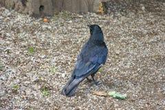 Animale nero del corvo dell'uccello del corvo Fotografie Stock Libere da Diritti
