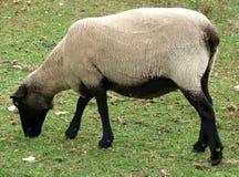 Animale - pecora Fotografia Stock Libera da Diritti