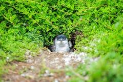 Animale: Pinguino all'Australia Fotografia Stock