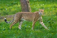 Animale rosso della lista - ghepardo o cheeta, animale di terra più veloce, grande Immagini Stock Libere da Diritti
