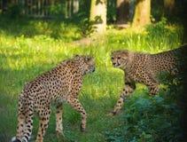 Animale rosso della lista - ghepardo o cheeta, animale di terra più veloce, grande Immagini Stock