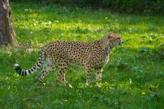 Animale rosso della lista - ghepardo o cheeta, animale di terra più veloce, grande Fotografia Stock Libera da Diritti