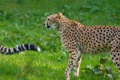 Animale rosso della lista - ghepardo o cheeta, animale di terra più veloce, grande Immagine Stock Libera da Diritti