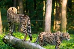 Animale rosso della lista - ghepardo o cheeta, animale di terra più veloce, grande Fotografie Stock Libere da Diritti