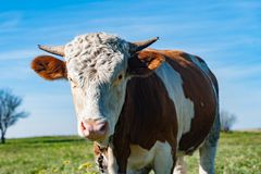 animale rurale del ritratto della mucca immagine stock libera da diritti