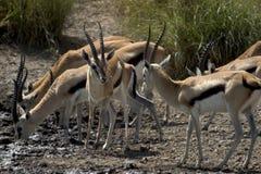Animale selvatico in Africa, sosta nazionale di serengeti Immagini Stock Libere da Diritti