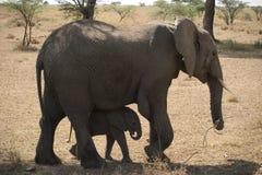 Animale selvatico in Africa, sosta nazionale di serengeti Immagine Stock Libera da Diritti
