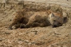 Animale selvatico in Africa, sosta nazionale di serengeti Fotografie Stock