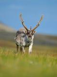 Animale selvatico dalla Norvegia Renna, tarandus del Rangifer, con i corni massicci nell'erba verde, cielo blu, le Svalbard, Norv Immagini Stock