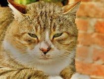 Animale selvatico della natura degli occhi di gatto fotografia stock libera da diritti